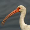 White Ibis Portrait<br /> Black Point Wildlife Drive<br /> Merritt Island NWR, Florida<br /> December 2012