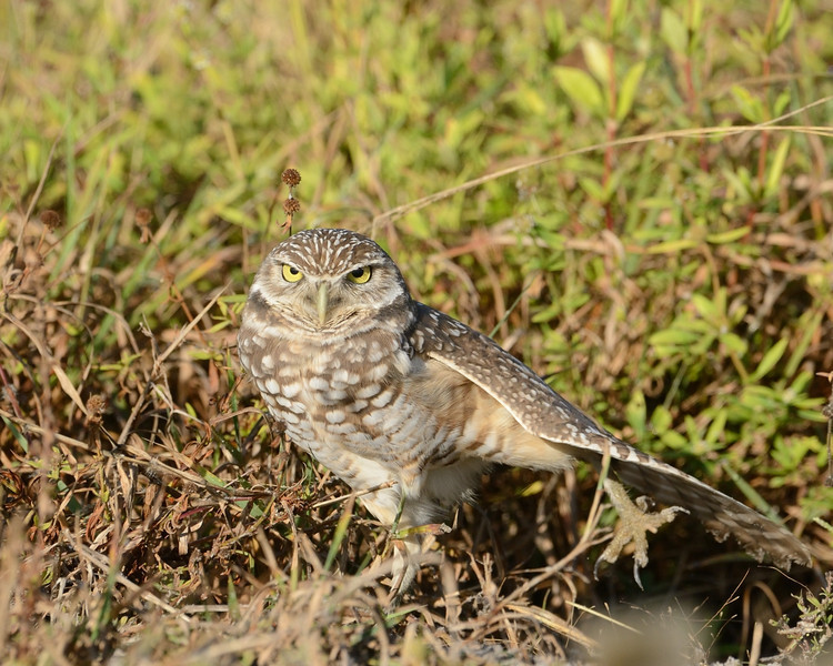 Burrowing Owl, morning stretch<br /> Cape Coral, Florida<br /> December 2012