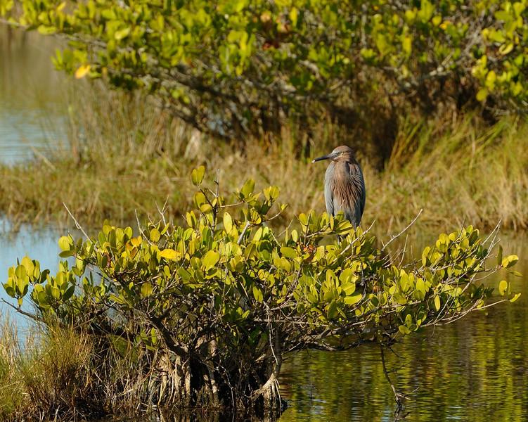 Reddish Egret<br /> Black Point Wildlife Drive<br /> Merritt Island NWR, Florida<br /> December 2012