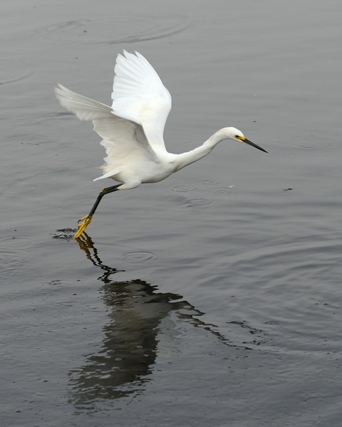 The Snowy Egret drags its toes across the surface of the water ...<br /> Black Point Wildlife Drive<br /> Merritt Island NWR, Florida<br /> December 2012