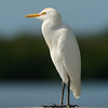 Cattle Egret<br /> Ding Darling NWR, Florida<br /> December 2012