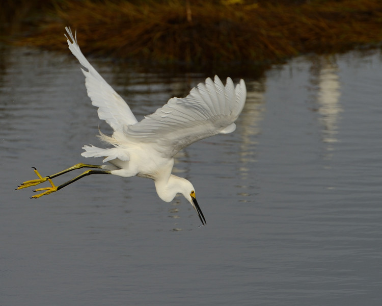 Snowy Egret taking off<br /> Black Point Wildlife Drive<br /> Merritt Island NWR, Florida<br /> December 2012