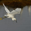 Snowy Egret taking off<br /> Black Point Wildlife Drive<br /> Merritt Island NWR, Florida<br /> December 2012