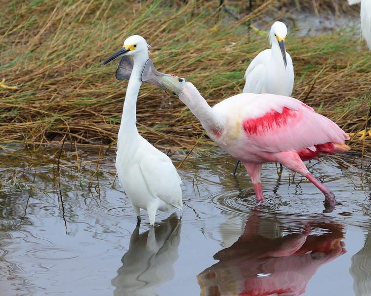 GOTCHA!<br /> Black Point Wildlife Drive<br /> Merritt Island NWR, Florida<br /> December 2012