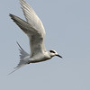 Common Tern.  A very fast flyer.<br /> Black Point Wildlife Drive<br /> Merritt Island NWR, Florida<br /> December 2012