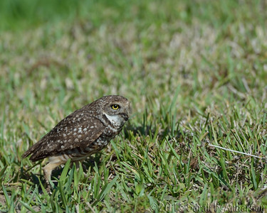 Burrowing Owl with snack