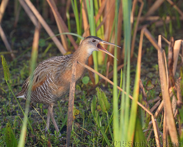 """KACK! ""  says the King Rail"