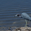 LIttle Blue Heron with snack