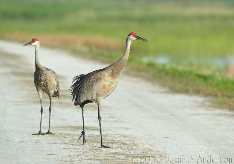 Sandhill Cranes.  Right there.  Right.  THERE.