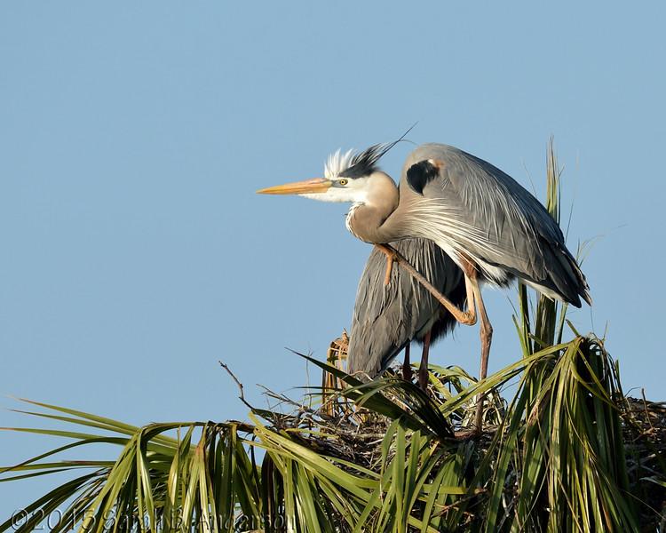 Great Blue Heron in early morning sun