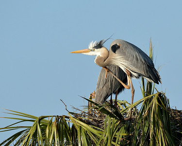 Great Blue Heron in early morning sun