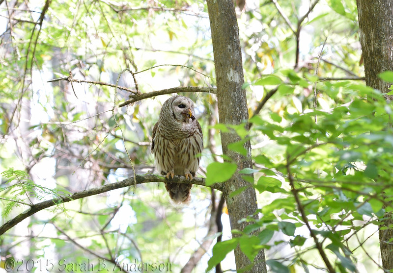 The other Barred Owl parent bringing food