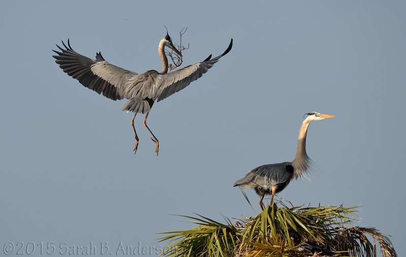 Great Blue Herons, nest-building-bonding