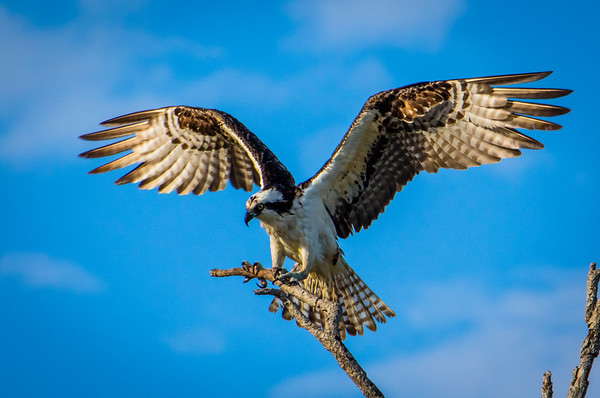 Osprey makes a landing on branch
