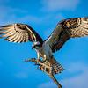 Osprey makes a landing on branch