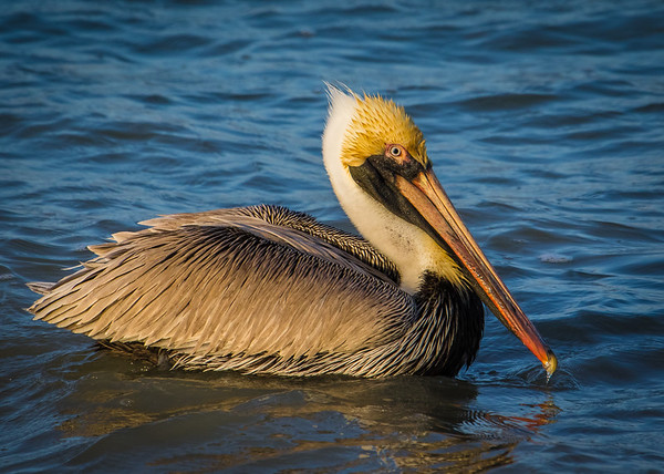 Pelican with small fish