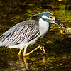 Yellow-crowned night heron with crab catch