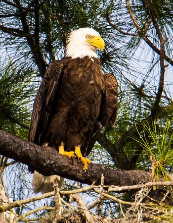 Bald Eagle watches over eglets (hidden) in nest