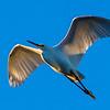 White egret soars overhead