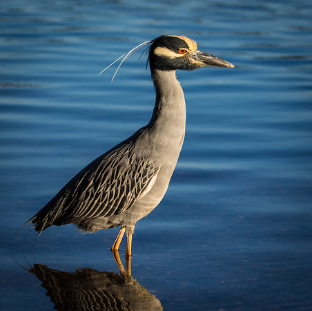 Yellow-crowned night heron waking up