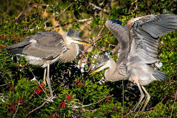Juvenile Herons