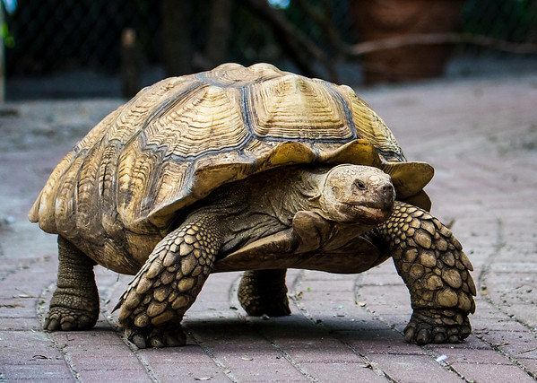 Tortoise, slow but surely wins the race