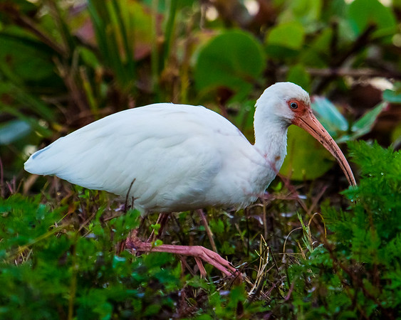 Ibis searches for food