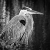 Great Blue Heron in monochrome