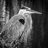 Great Blue Heron in monochrome