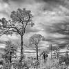 Florida Pine Trees