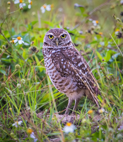 Burrowing Owl stands guard by nest