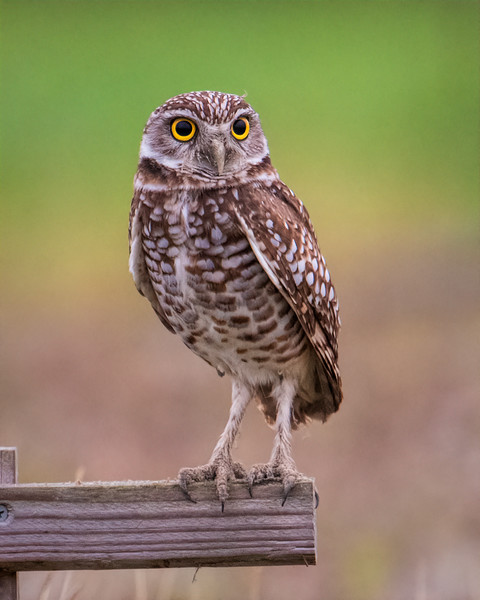 Burrowing Owl atop man-made perch