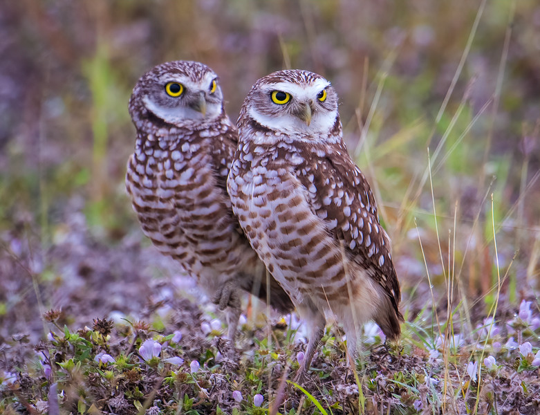 Burrowing Owls, mating pair