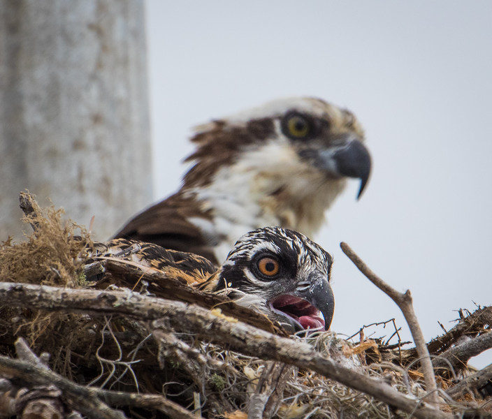 Baby Osprey in nest with mother watching from behind