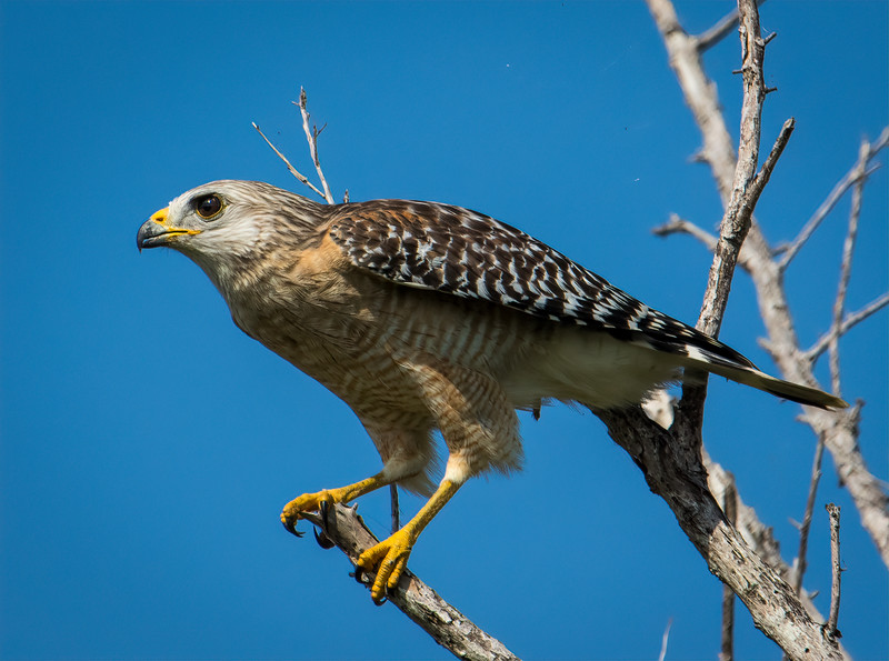 Red Shouldered Hawk prepares for flight