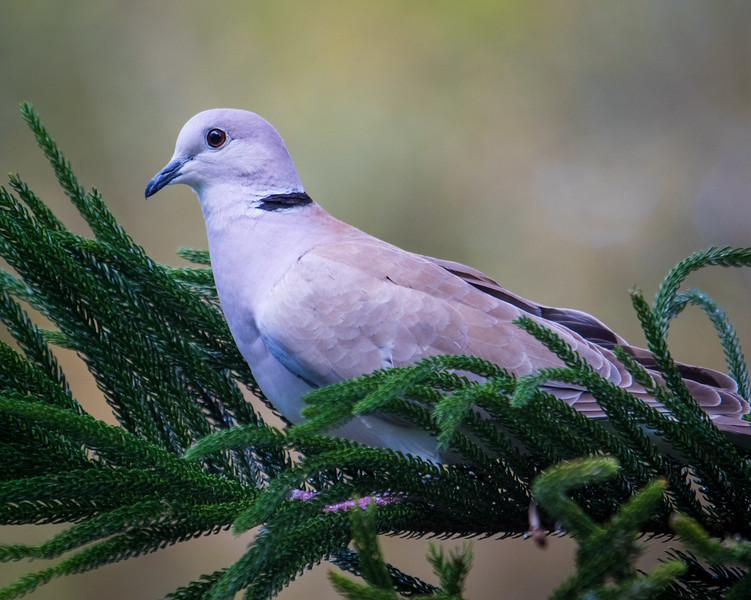 Dove sitting on soft branch