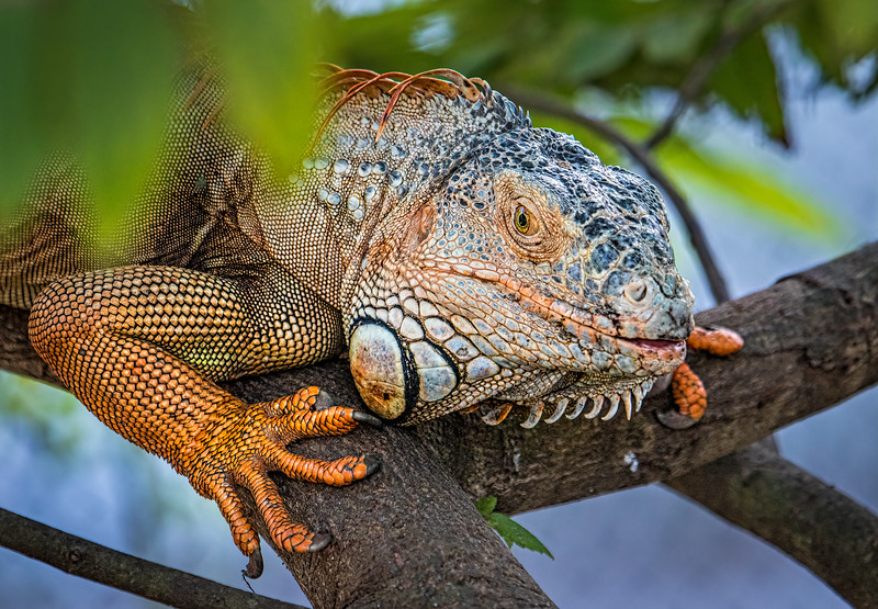 Iguana on tree branch
