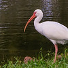White Ibis - at a pond by my hotel North of Orlando