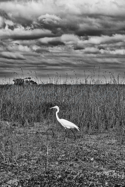 Everglades 033 BW<br /> <br /> A beautiful Great White Egret on the hunt for breakfast in the tall grasses commonly found in the Everglades Park.  Check out the amazing detail in the clouds to help enhance the image.<br /> <br />  This image can also be found in the Bird gallery, found via Nature.