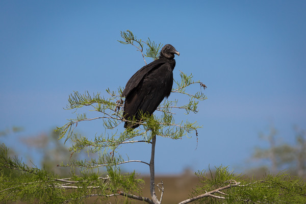Black Vulture -- Everglades National Park