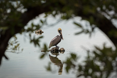 Brown Pelican Contemplating...