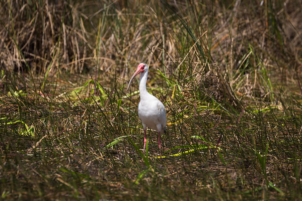 White Ibis -- Everglades National Park