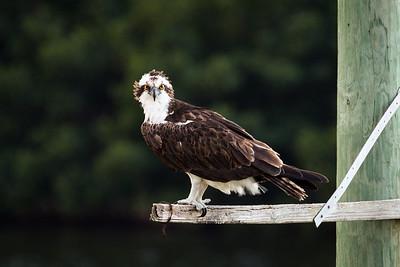 Good morning Osprey