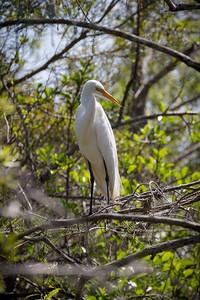 Great Egret -- Everglades National Park
