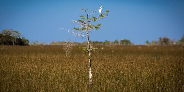 Lonely Great Egret -- Everglades National Park