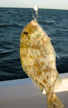 what is this fish?