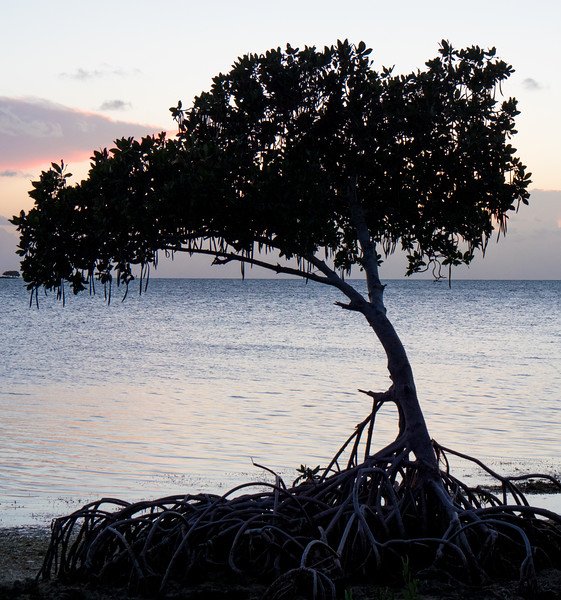 grassy key mangrove