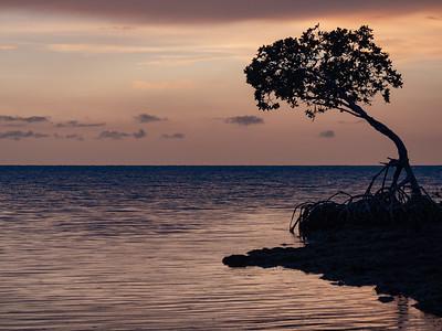 mangrove at dusk