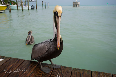 Pelicans on the Dock at Robbie's, Florida Keys