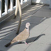 A visitor looking for a handout on our balcony.  He looks like a pigeon, but it's a Eurasian Collared Dove